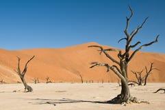 Dode acaciabomen in woestijn Royalty-vrije Stock Afbeelding