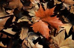 Dode bladeren Royalty-vrije Stock Afbeeldingen