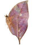 Dode bladvlinder Royalty-vrije Stock Foto's