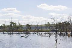 Dode Bomen bij Jonge Echtgenoot, Murray River, Zuid-Australië Stock Foto's