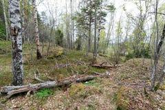 Dode bomen in een hol bos Royalty-vrije Stock Foto's