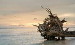 Dode bomen en droog op strand Stock Fotografie