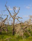 Dode bomen en groene grassen tegen een blauwe hemel Royalty-vrije Stock Foto's