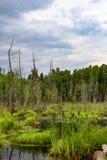 Dode bomen in het moeras stock afbeeldingen