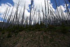 Dode bomen in het Nationale park van Yellowstone Royalty-vrije Stock Fotografie