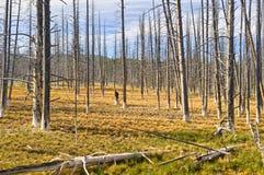 Dode bomen in het Nationale park van Yellowstone stock foto