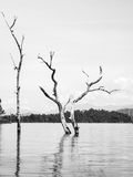 Dode Bomen in het Water Stock Afbeeldingen