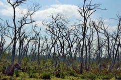 Dode Bomen in Kaap Otway Stock Afbeeldingen