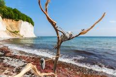 Dode boom bij de kust van de krijtrotsen van Ruegen, Duitsland royalty-vrije stock foto's
