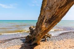 Dode boom bij de kust van de krijtrotsen van Ruegen, Duitsland stock afbeeldingen