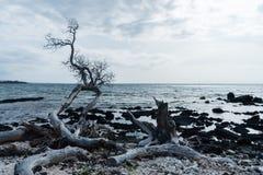 Dode boom bij de waterrand bij de Kohala-Kust op het Grote Eiland Hawaï royalty-vrije stock foto