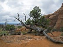 Dode boom, Bogen Nationaal Park, Moab Utah Stock Foto
