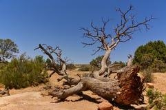 Dode boom in de woestijn, Bogen Nationaal Park, Utah, de V.S. royalty-vrije stock afbeelding