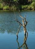 Dode boom die zich in het meer bevinden Stock Afbeelding
