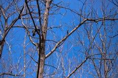 Dode boom en blauwe hemel stock foto's