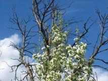 Dode boom en levende boom tegen de hemel Stock Foto