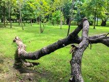 Dode boom in het park Royalty-vrije Stock Fotografie