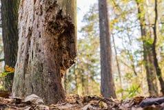 Dode boom in hout Royalty-vrije Stock Fotografie