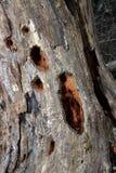 Dode boom met gaten Royalty-vrije Stock Afbeeldingen