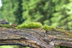 Dode boom met mos Stock Foto