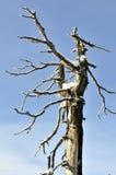Dode boom met sneeuw tegen blauwe hemel Stock Afbeeldingen