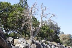 Dode boom op de kustlijn Stock Afbeelding