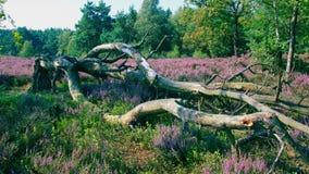 Dode boom op purple gekleurd dopheide-gebied Stock Fotografie