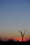 Dode boom tegen een Afrikaanse zonsondergang stock foto's