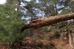 Dode boom trunck op wandelingsweg in het bos van Fontainebleau royalty-vrije stock foto's