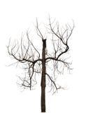 Dode boom, vernietigde die boom op witte achtergrond wordt geïsoleerd Stock Foto's