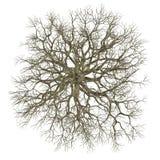 Dode boom zonder geïsoleerde bladeren. Acer-bovenkant Royalty-vrije Stock Fotografie
