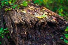 Dode boomboomstam in het bos stock afbeeldingen