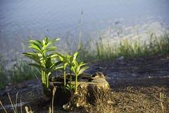 Dode Boomstomp op gras De oude dode boomstomp na een boom werd verminderd in het park royalty-vrije stock afbeeldingen