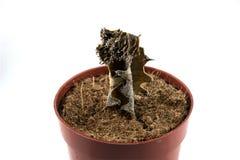 Dode cactus in een bloempot Stock Foto