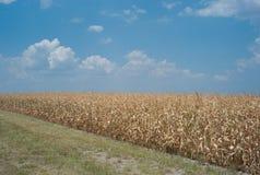 Dode cornfield toe te schrijven aan droogte Stock Afbeelding