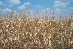 Dode cornfield toe te schrijven aan droogte Stock Fotografie