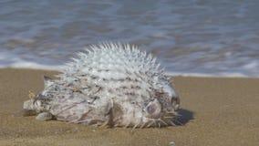 Dode die Blowfish op Tropisch Strandclose-up is vastgelopen stock video