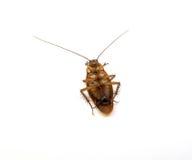 Dode die kakkerlak op witte achtergrond wordt geïsoleerd Stock Afbeeldingen