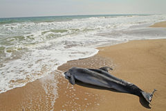 Dode dolfijn Stock Afbeeldingen
