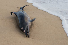 Dode dolfijnvissen bij zandige strandverontreiniging Stock Afbeelding