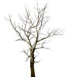 Dode droge eiken boom die op wit wordt geïsoleerdh Stock Foto's