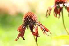 Dode echinaceabloem Royalty-vrije Stock Afbeelding