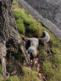Dode Eekhoorn op het Gras bij de Bodem van een Boom dichtbij de Straat Royalty-vrije Stock Foto