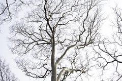 Dode eeuwigdurende bomen met een witte achtergrond stock fotografie