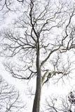 Dode eeuwigdurende bomen met een witte achtergrond stock foto's