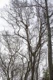 Dode eeuwigdurende bomen met een witte achtergrond royalty-vrije stock afbeeldingen