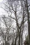 Dode eeuwigdurende bomen met een witte achtergrond royalty-vrije stock foto's