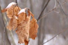 Dode eiken bladeren stock foto's