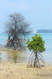 Dode en levende Rhizophora-Mangrove Mudflats royalty-vrije stock afbeelding