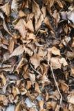 Dode en rottende klimopbladeren Royalty-vrije Stock Afbeelding